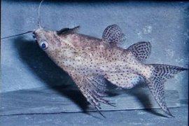 Peneliti IPB gunakan cabe Jawa untuk penjantanan ikan Synodontis