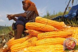 Menko Perekonomian pastikan impor jagung 30 ribu ton