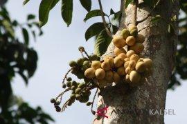 Tabalong prepares Tanta as a fruit tourism center