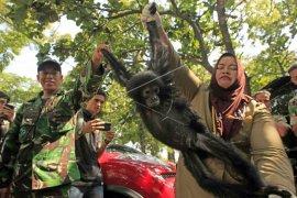 BKSDA Aceh lepas liarkan orang utan ke cagar alam Jantho
