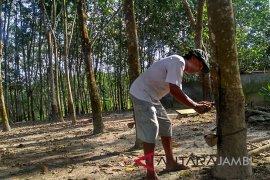 Pemkab Batanghari remajakan ratusan hektare kebun karet tua