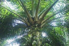 IPB teliti pengaruh berbagai taraf penunasan terhadap produksi kelapa sawit