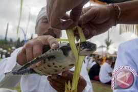 Dilema konservasi penyu di Bali