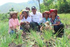 Pemkab Samosir-petani  panen bawang merah
