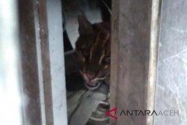 BKSDA: banyak populasi kucing emas di Aceh