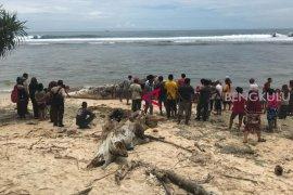Bangkai ikan paus terdampar di Pantai Kaur