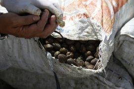 Karantina Entikong gagalkan pengiriman 1,5 ton kerang