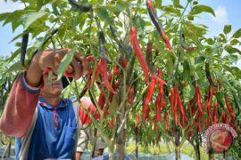 Para petani cabai di Banyuwangi raup untung Rp350 juta per hektar