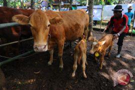 Sleman terus tingkatkan populasi sapi