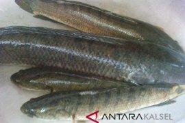 Harga ikan gabus giling melambung menjelang Lebaran