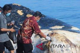 Ikan Paus Sperma terdampar di Pantai Bungkulan