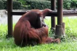 Tanggapan Bandung Zoo soal orang utan merokok