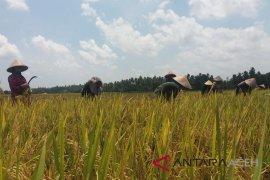 Kodim Nagan Raya optimalkan serapan pembelian gabah petani