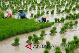 Pemprov Sumut targetkan produktivitas padi 8 ton per hektare