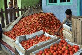 Panen raya harga tomat di Aceh Tengah anjlok