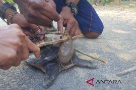 Labi-labi Moncong Babi dilepaskan dari kail pemancing