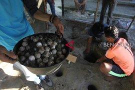 Puluhan telur penyu menetas di Pantai Jakat