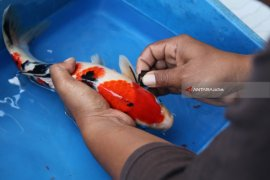 Perbaikan Motif Ikan Koi