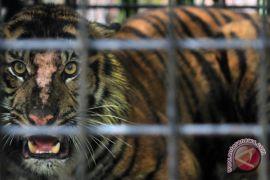 Tim lacak jejak harimau sumatera di Indragiri Hulu