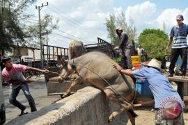 15 ton daging kerbau beku terjual di Pekanbaru