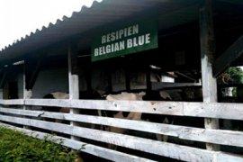 Belgian Blue di STPP Bogor