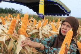 Anggota DPR akan tinjau data produksi jagung