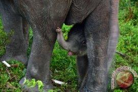 Gajah masuk kampung warga Gunungdoh khawatir