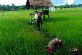 Tanaman padi Aceh Barat diserang hama ulat
