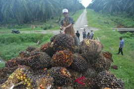 Harga kelapa sawit di Nagan Raya makin anjlok, petani kalang-kabut
