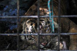 BBKSDA Riau temukan jejak harimau dewasa