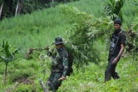 Prajurit TNI temukan ladang ganja lima hektare di Bireuen