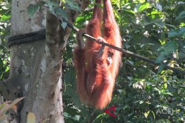 BKSDA Aceh translokasi orangutan sumatera terisolir