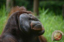 Pemberi rokok ke orangutan: saya kapok