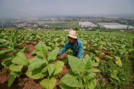 Peneliti temukan petani khawatirkan tembakau impor