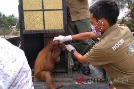 Orangutan dievakuasi di Aceh Barat Daya