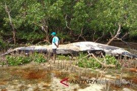 Bangkai paus raksasa terdampar di pantai Wondama