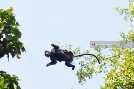 Lutung dahi Putih ditemukan di hutan adat di Tapin