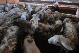 Indonesia ekspor perdana 60.000 domba ke Malaysia
