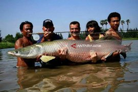 Peneliti LIPI Sarankan Segera Tangkap Ikan Arapaima