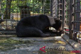 Korban serangan beruang masih dirawat intensif