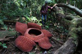 BKSDA temukan lokasi baru Rafflesia