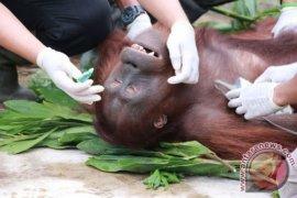 Bangkai orangutan penuh luka mengapung di kanal