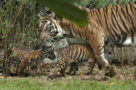 Anak harimau Sumatera kembar tiga diasah kemampuan berburu