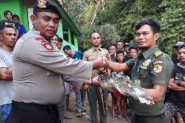 BKSDA Maluku relokasi buaya muara di SBB
