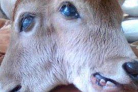 Anak sapi bermata satu di tengah kejutkan warga Sukadana