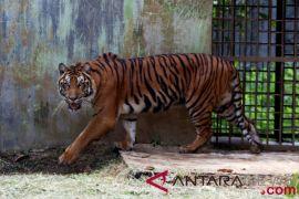 Harimau Sumatera tewas terjerat di Riau
