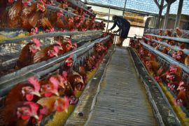 Masyarakat kurangi konsumsi telur ayam
