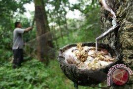 Dampak El nino ancam penurunan produksi karet Sumbagut