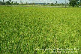 NTT naik peringkat 14 penyumbang produksi dan luas tanam padi