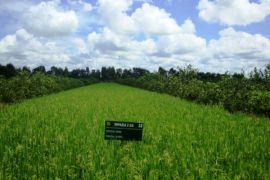 Padi-jeruk pemanfaatan lahan rawa yang menjanjikan